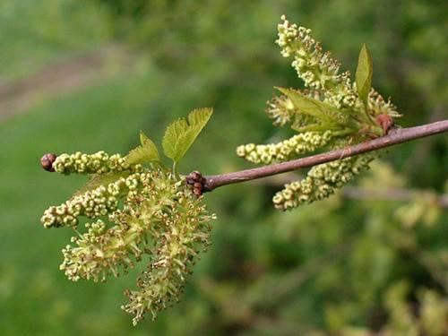 Шелковица (тутовое дерево), (morus). описание, виды и выращивание шелковицы