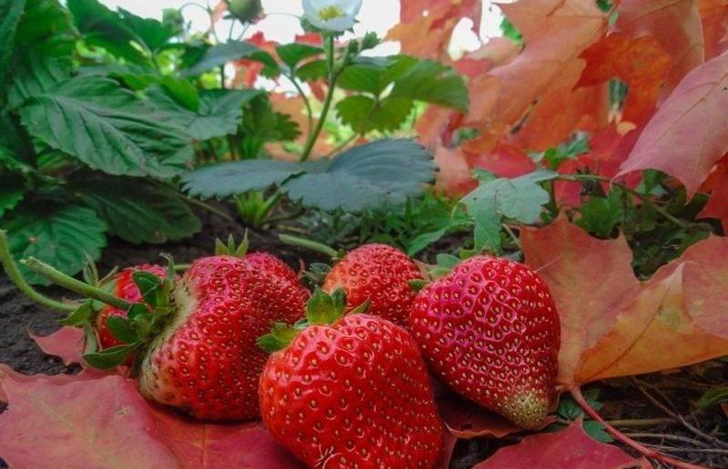 Обзор лучших сортов ремонтантной клубники: крупноплодные и мелкоплодные сорта