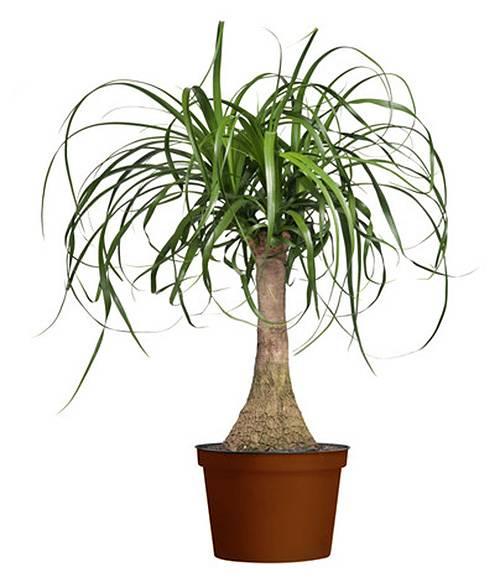 Бокарнея, бутылочное дерево — все тонкости домашнего ухода