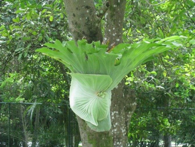 Виды платицериума для выращивания дома