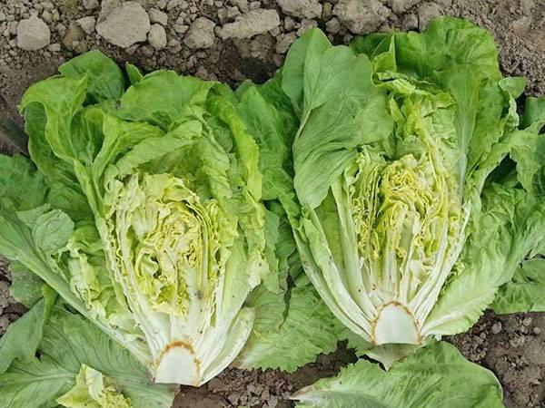 Выращивание салата ромэн семенным и рассадным способами