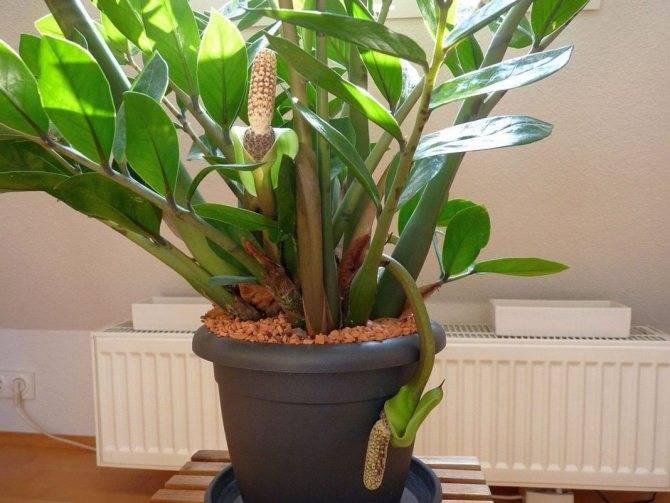 Размножение замиокулькаса в домашних условиях