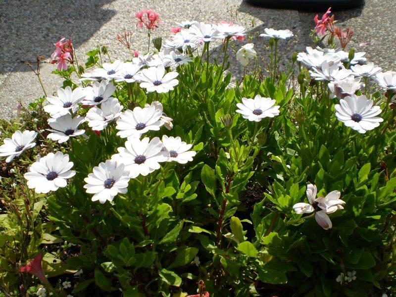 Цветы остеоспермум: описание, особенности выращивания и ухода, фото