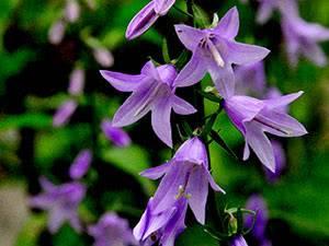 Встречайте в своем саду разные виды и сорта чудесного колокольчика