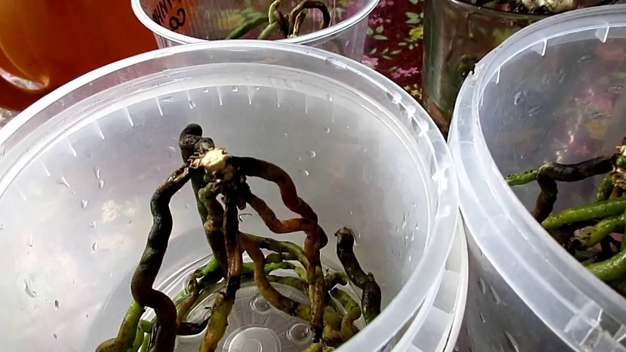 Как рассадить орхидею – пошаговый алгоритм с фото рассадки деток в домашних условиях, правильное размножение цветка