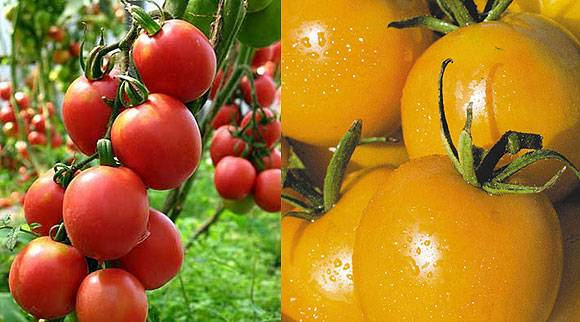Сорта помидоров для открытого грунта: лучшие урожайные сорта. 125 фото и видео рекомендации экспертов