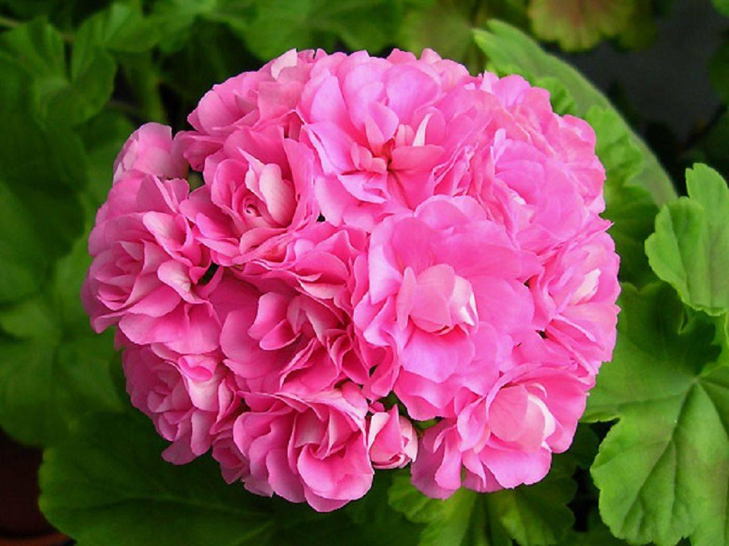 Пеларгония зональная – яркое украшение сада