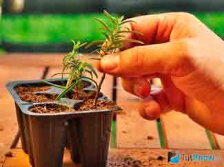 Размножение розмарина в саду: посадка, уход, полив