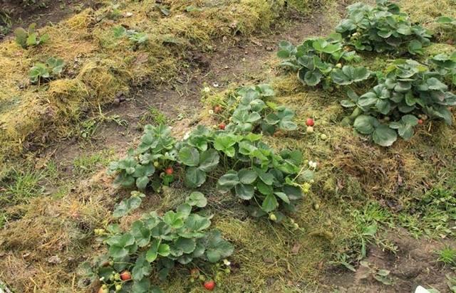 Агротехническое мероприятие — мульчирование почвы: что это такое, какие преимущества имеет метод и какие природные материалы рекомендуется использовать