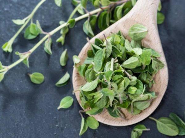 Полезные свойства майорана, выращивание и уход