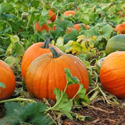 Посадка тыквы в открытый грунт обработка семян сроки и схема посадки выращивание и уход