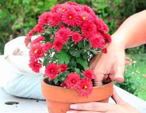 Посадка хризантемы из горшка в открытый грунт