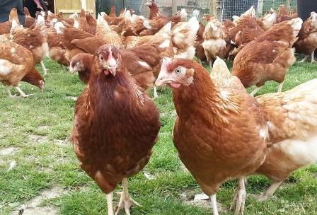 Подробные советы начинающим для разведения кур в домашних условиях