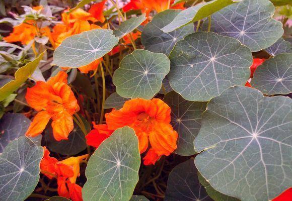Как и когда сажать семена настурции на рассаду в домашних условиях