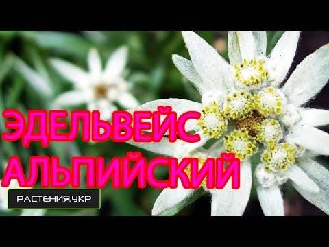 Цветок эдельвейс фото посадка и уход в открытом грунте выращивание из семян на рассаду