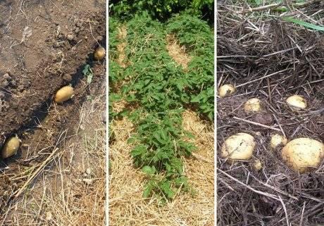 Посадка картофеля под солому: огород без хлопот. лучшие способы посадки, технология выращивания