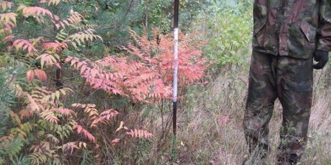 Размножение рябинника черенками. самые распространенные виды рябинника. удобрения и способы размножения