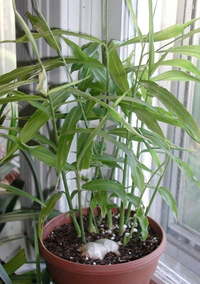 Как вырастить имбирь — как растет имбирь в домашних условиях