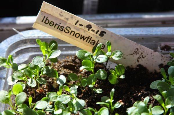 Выращиваем на участке неприхотливый иберис вечнозеленый