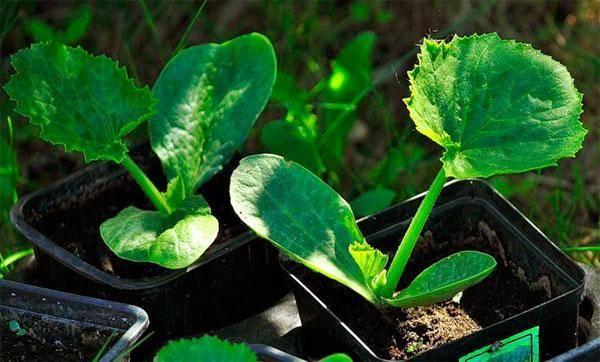 Когда можно сажать семена кабачков в открытый грунт?