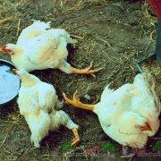 Почему гуси выщипывают перья друг у друга