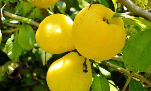 От чего помогает отвар яблок. лечения яблоками. выбор и хранение