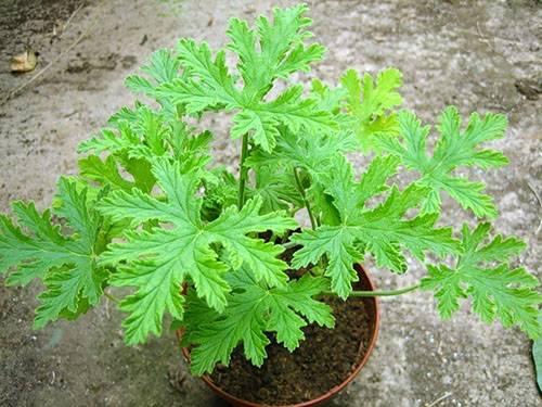 Пеларгония (pelargonium) – уход, фото, виды