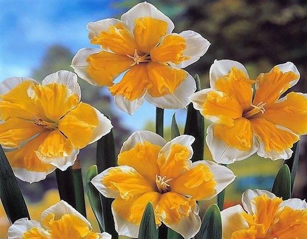Цветок нарцисс — описание всех видов. рекомендации по уходу в открытом грунте (80 фото)