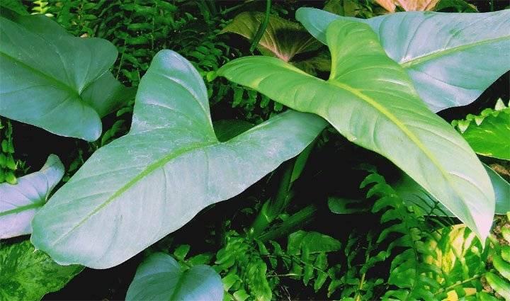Филодендрон — уход в домашних условиях и разновидности цветка