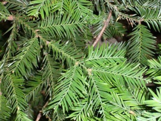 Величественное дерево секвойя покоряет всех своей помпезностью. высота секвойи вечнозеленой