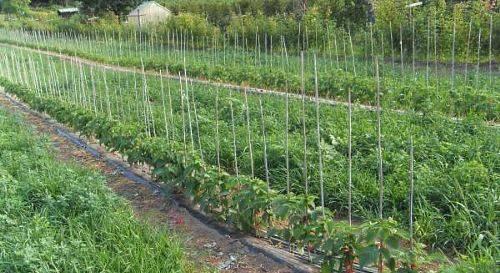 Бизнес план: как открыть бизнес по выращиванию малины