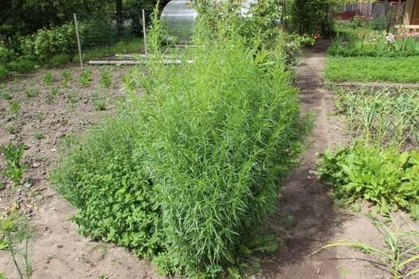 Выращиваем на грядках разные сорта эстрагона