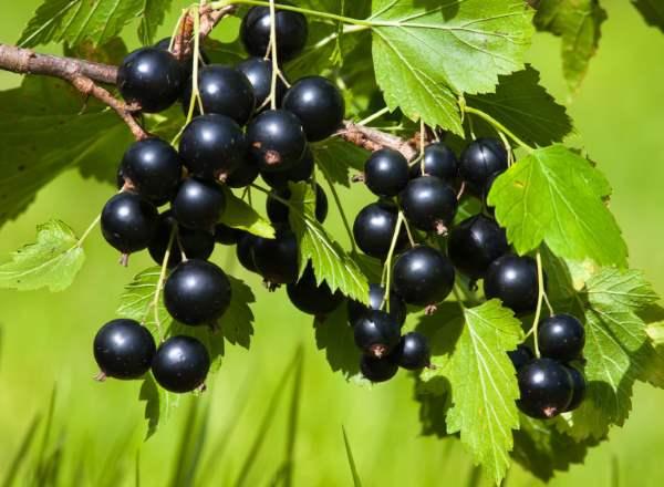 Уход за кустами чёрной смородины весной, летом, осенью и зимой