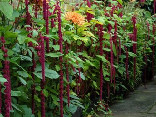 Цветок амарант: характеристика лучших видов и секреты правильного ухода