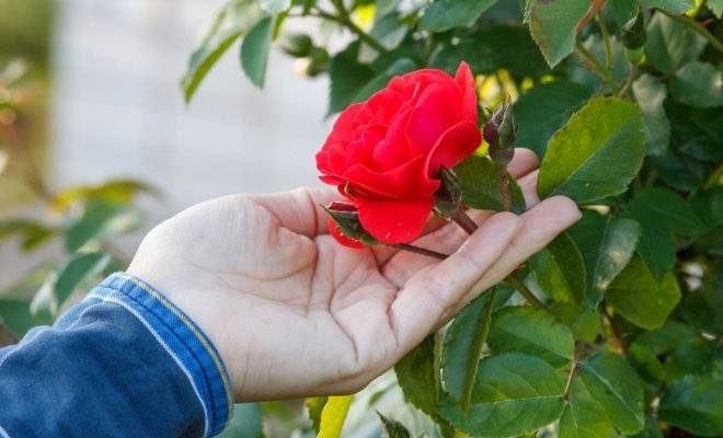 Как ухаживать за розами летом, чтобы цветам завидовали все соседи: делюсь секретами