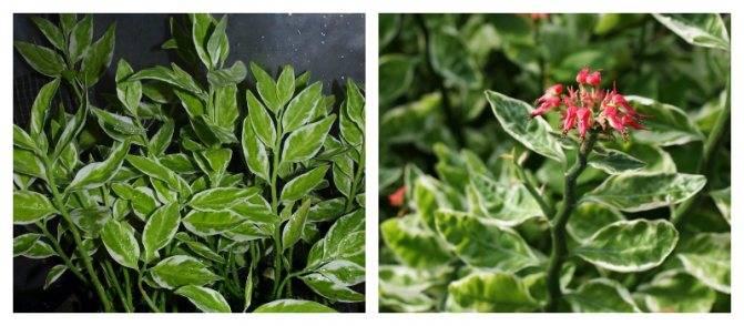 Педилантус: фото, виды и способы ухода за растением