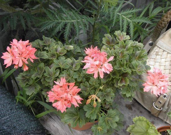 Тюльпановидная пеларгония в домашнем цветоводстве