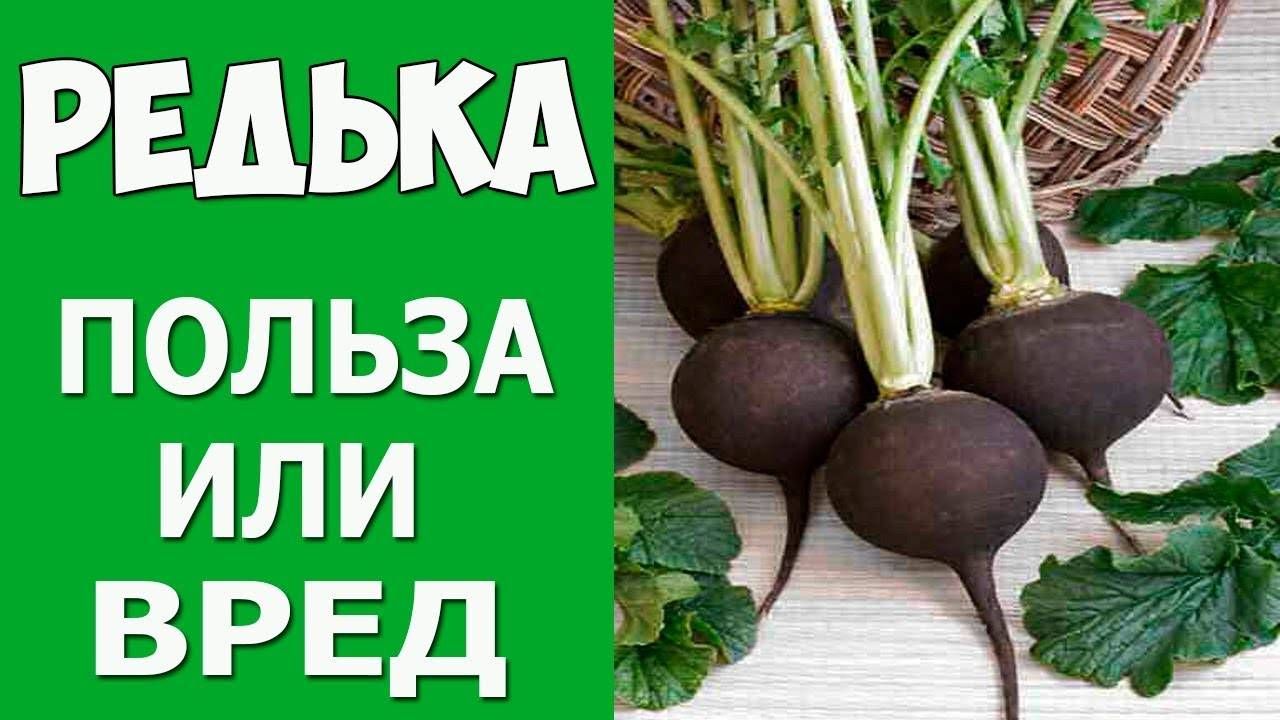 Лечебные свойства черной редьки, польза и вред, рецепты приготовления