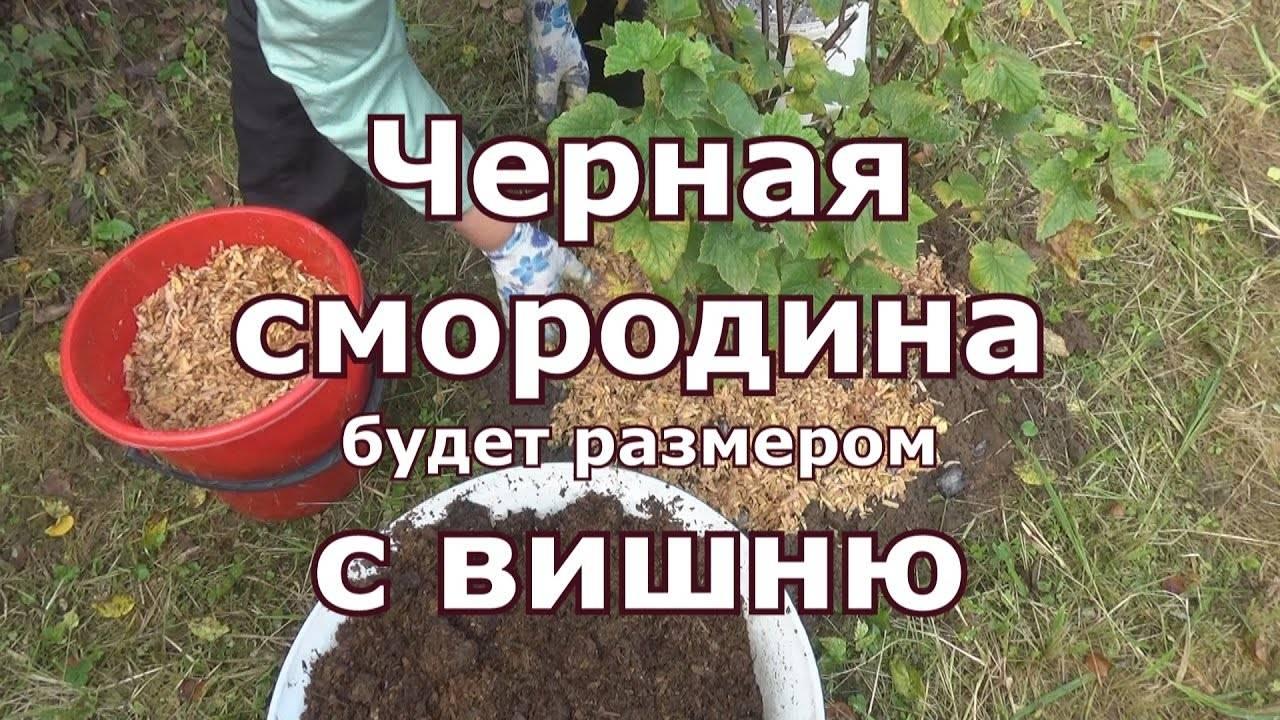 Осенние подкормки смородины для будущего обильного урожая
