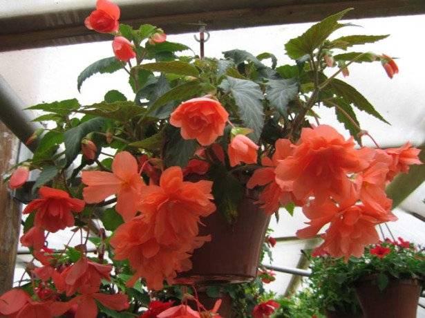 Бегония ампельная – секреты успешного выращивания