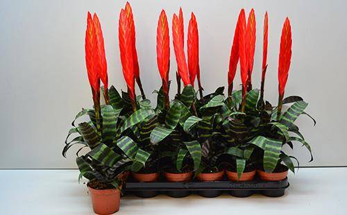 Вриезия — выращивание, уход и размножение комнатного растения. посадка и особенности лечения цветка (95 фото + видео)