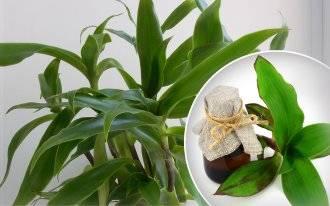 Выращиваем дома полезное растение золотой ус