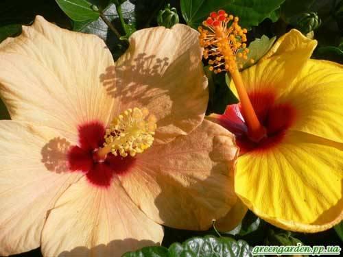Гибискус травянистый - посадка, уход, сорта и размножение