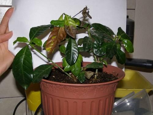 Лечение хлороза растений хелатом железа