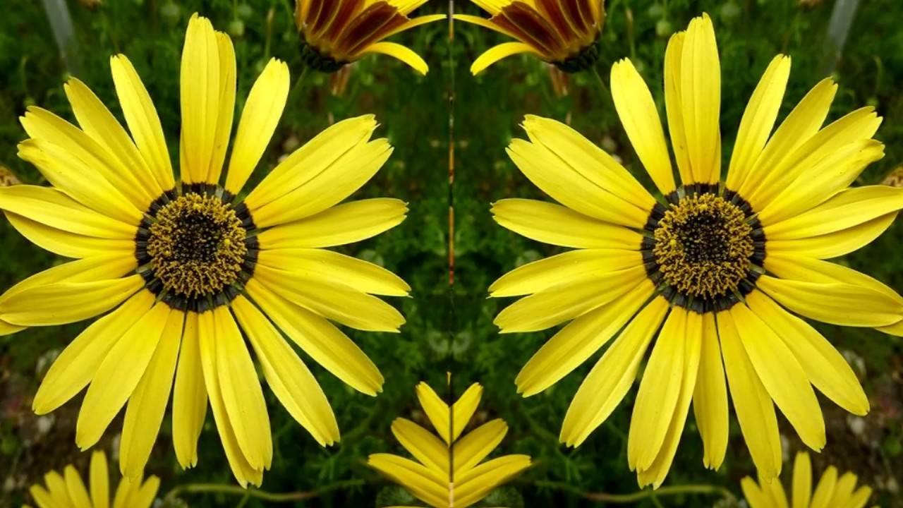 Домашний цветок с листьями как у клена — абутилон полосатый