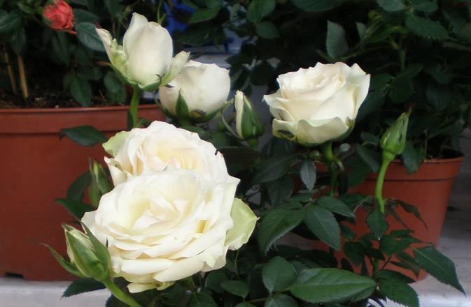 Комнатная роза в горшке: как за ней правильно ухаживать?