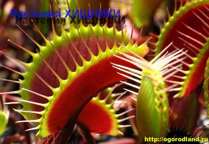 Растения-хищники в домашних условиях