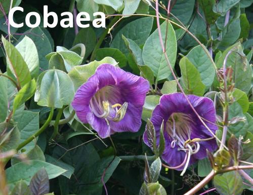 Кобея лазающая: как вырастить цветущую лиану из семян?