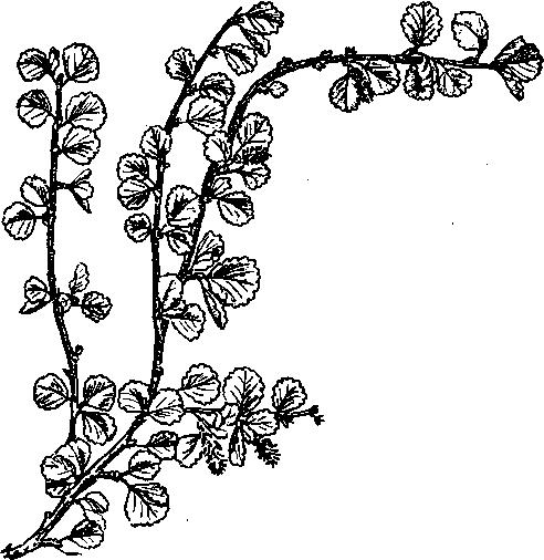 Камыш (фото растения)
