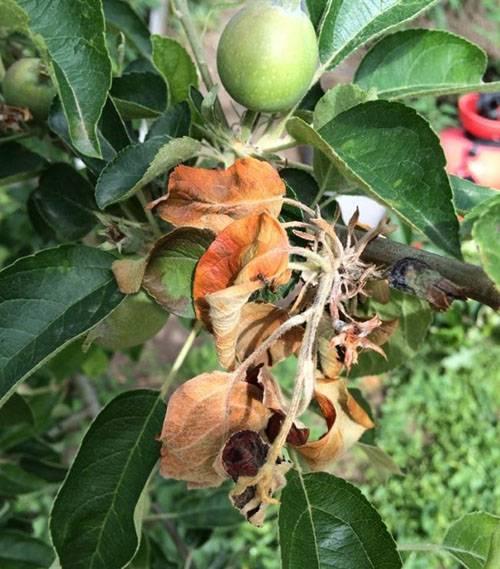 Борная кислота для растений: способы применения на даче